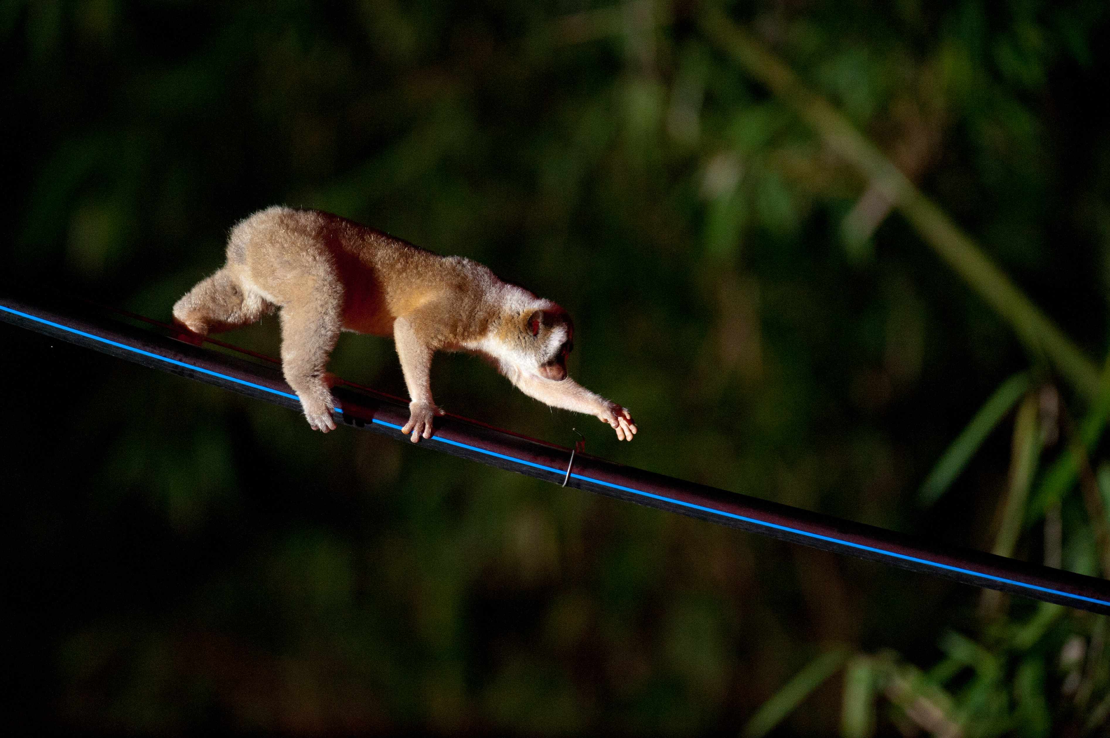 Female Javan slow loris on hose pipe bridge
