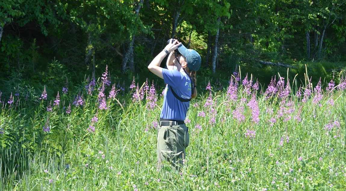 Me (Dr. Jalene LaMontagne) counting cones on white spruce trees at a field site in Michigan.