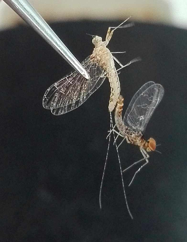 Mayfly forced coupla