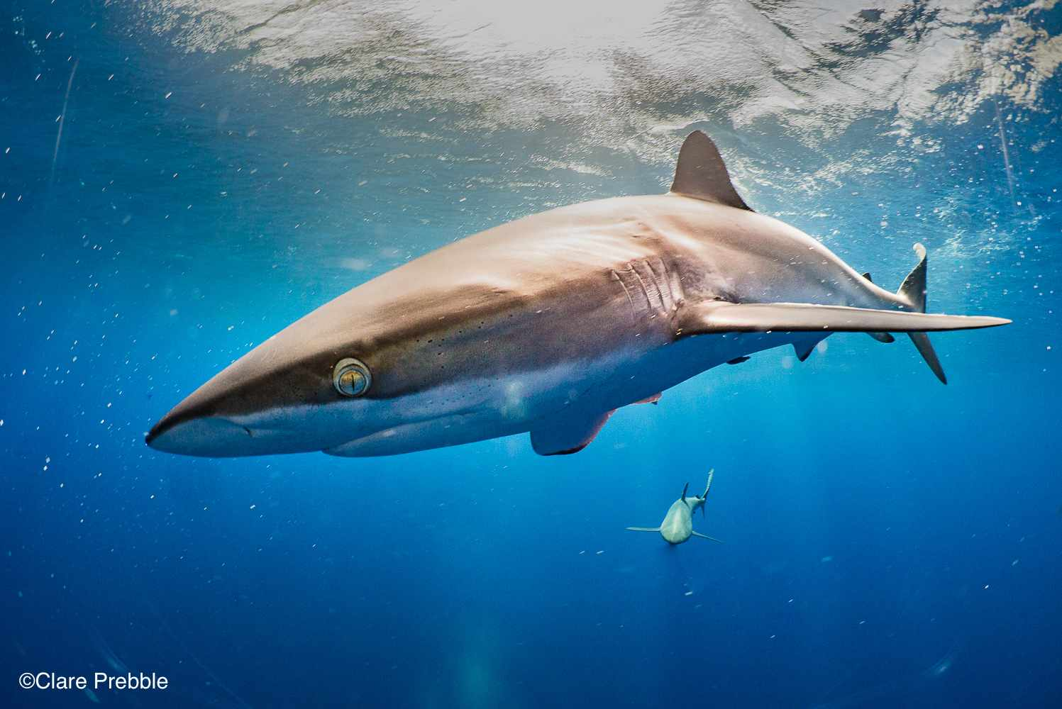 Silky shark oceanic close up