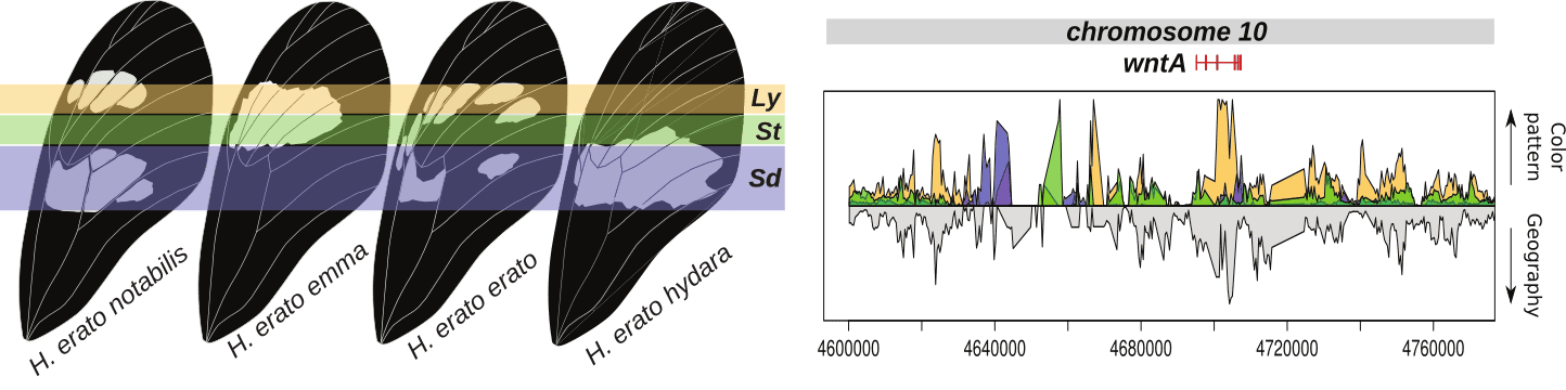 Example of identification of regulatory regions near the wntA gene that determine the shape of the forewing band. Graph on the right indicate regions in the genome that show high support for phylogenetic clustering according to color pattern rather than geography.