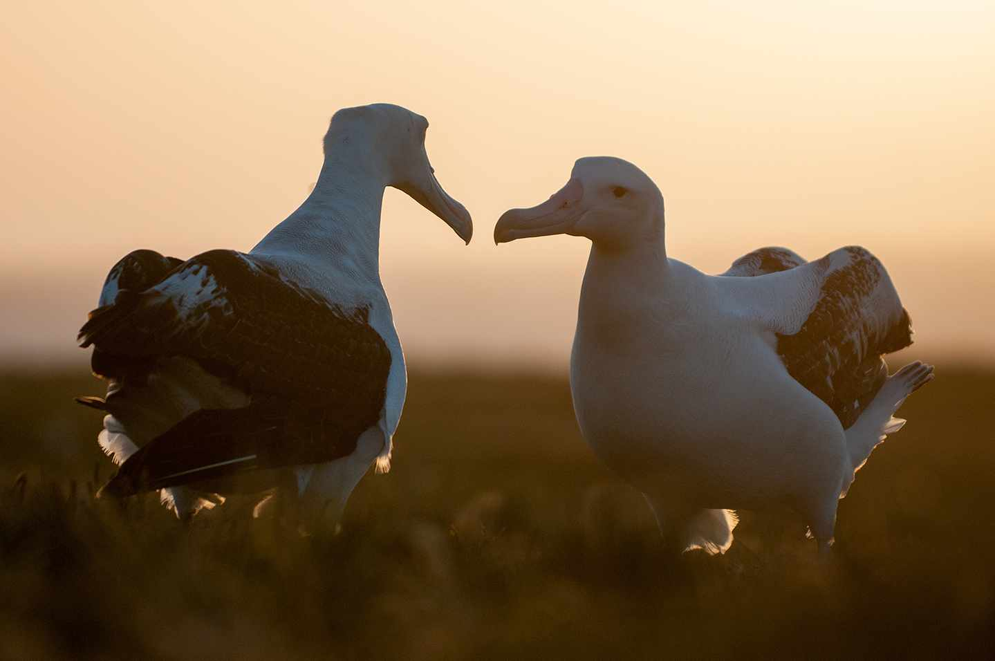 A pair of wandering albatross.