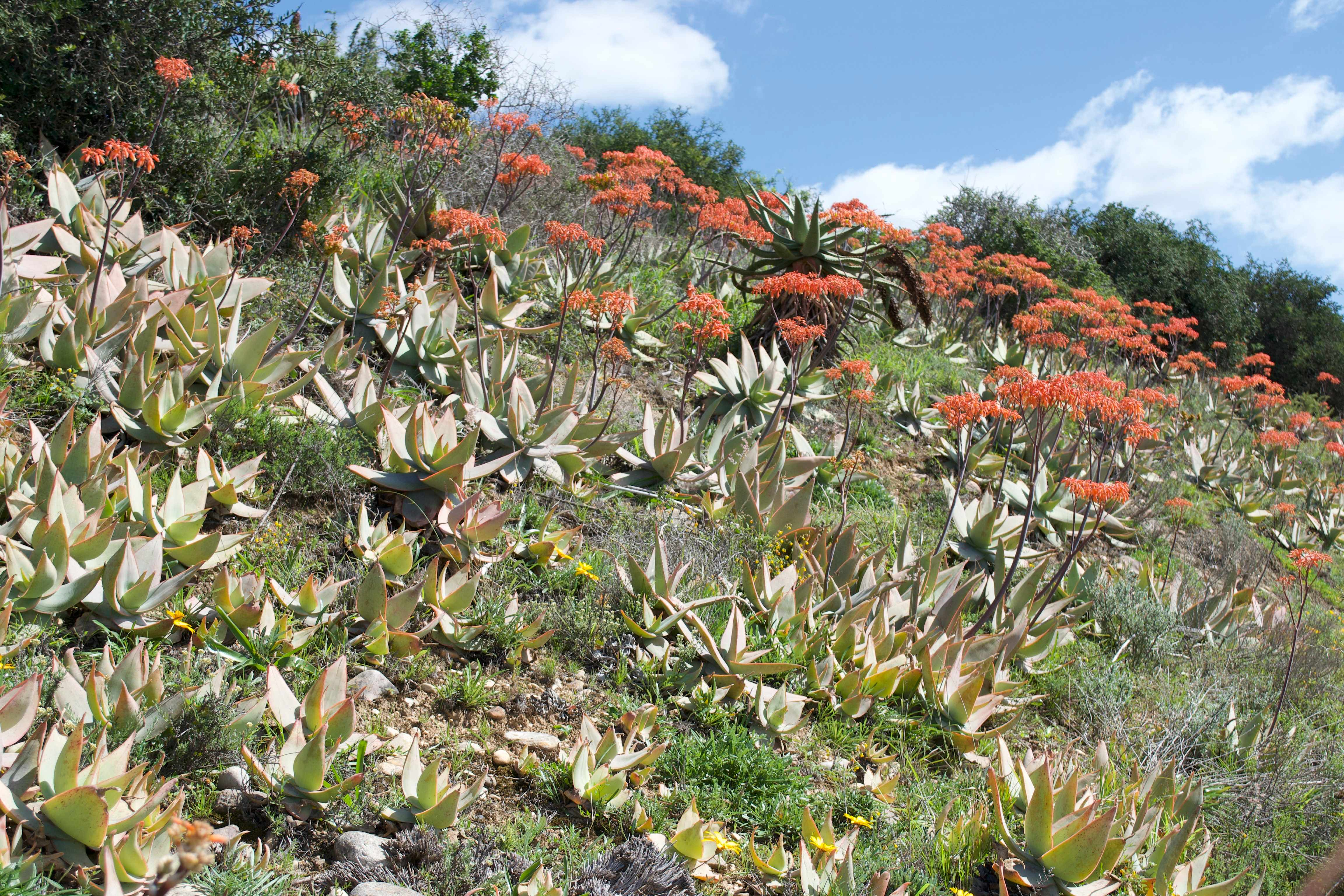 Aloe striata, South Africa (photograph O.M.Grace)
