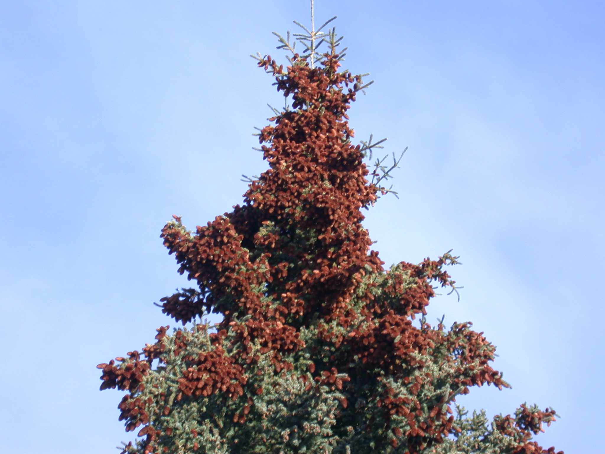 The top of a white spruce tree in the fall of a year with a high reproduction 'mast event' (Photo: LaMontagne).
