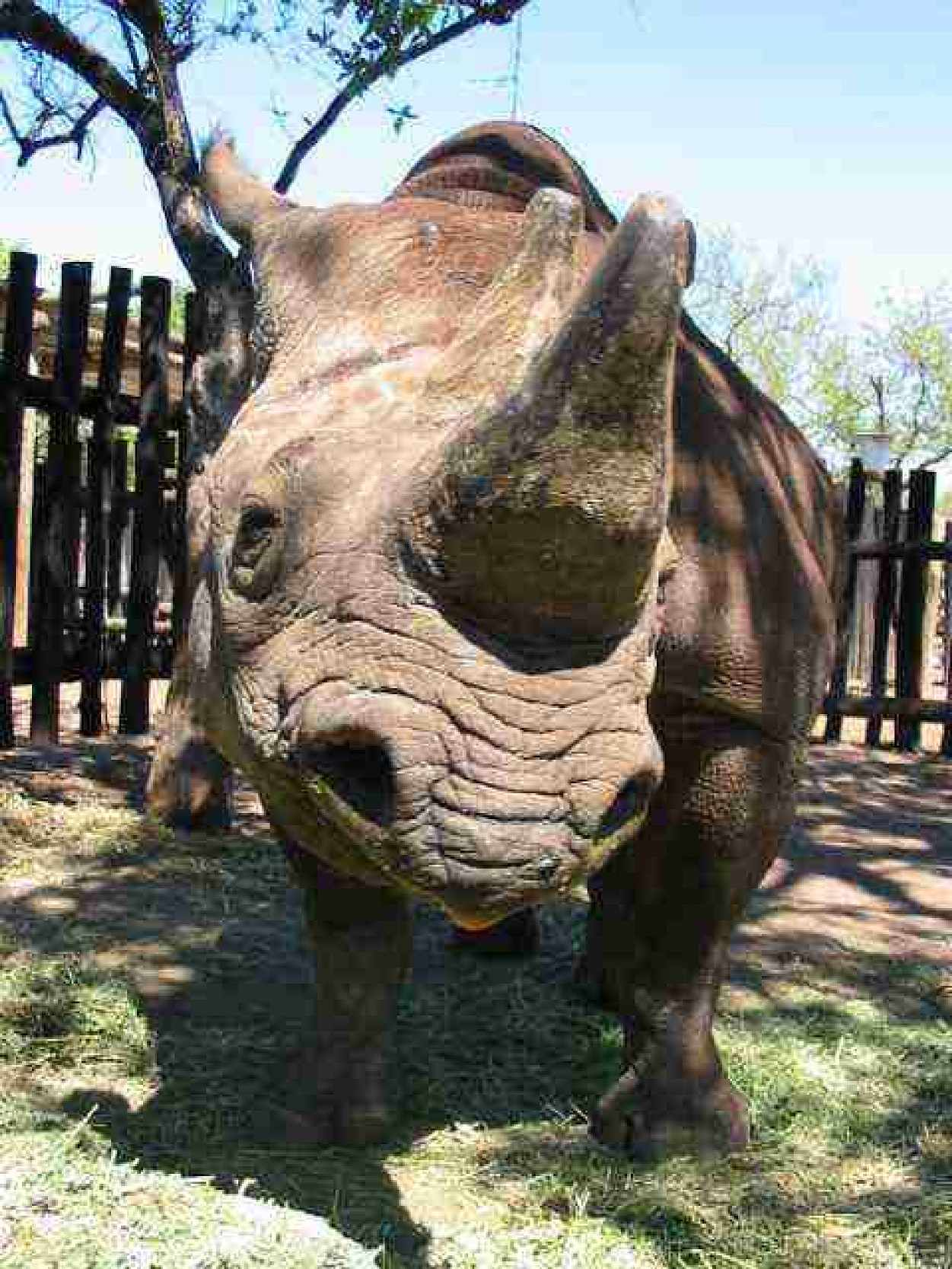 Rhino in boma before release