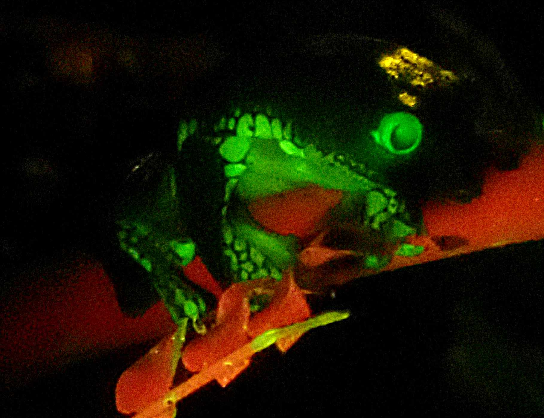 We may be able to use biofluoresence to survey for amphibians in dense vegetation.