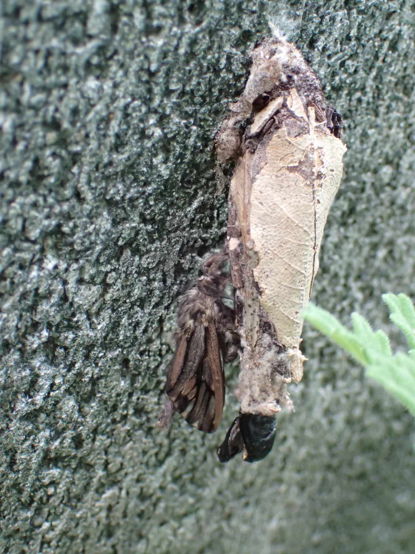 Bagworm moth (Eumeta variegata) with its protective case.