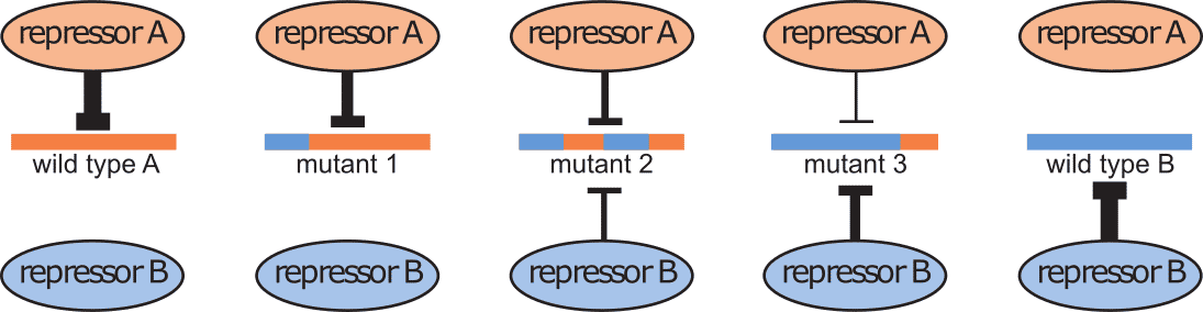 Evolutionary path between two repressor binding sites