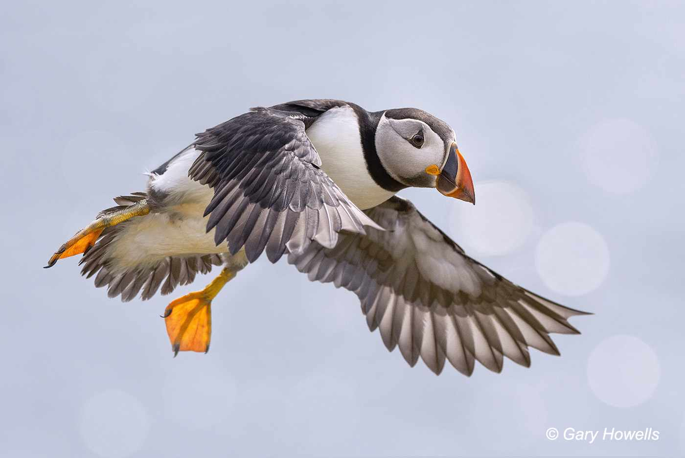 Atlantic Puffin on the Isle of May