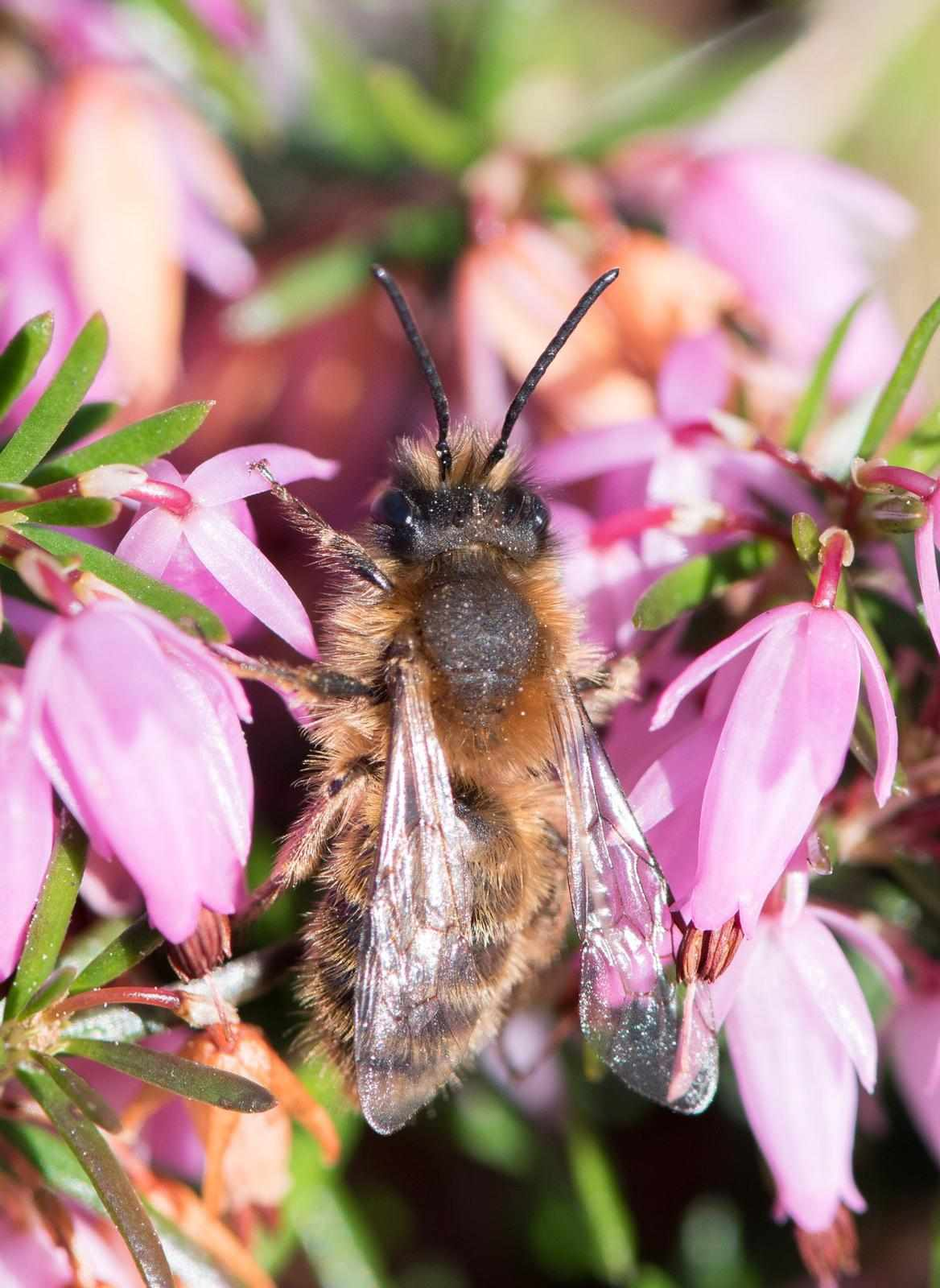 Male tawny minor bee
