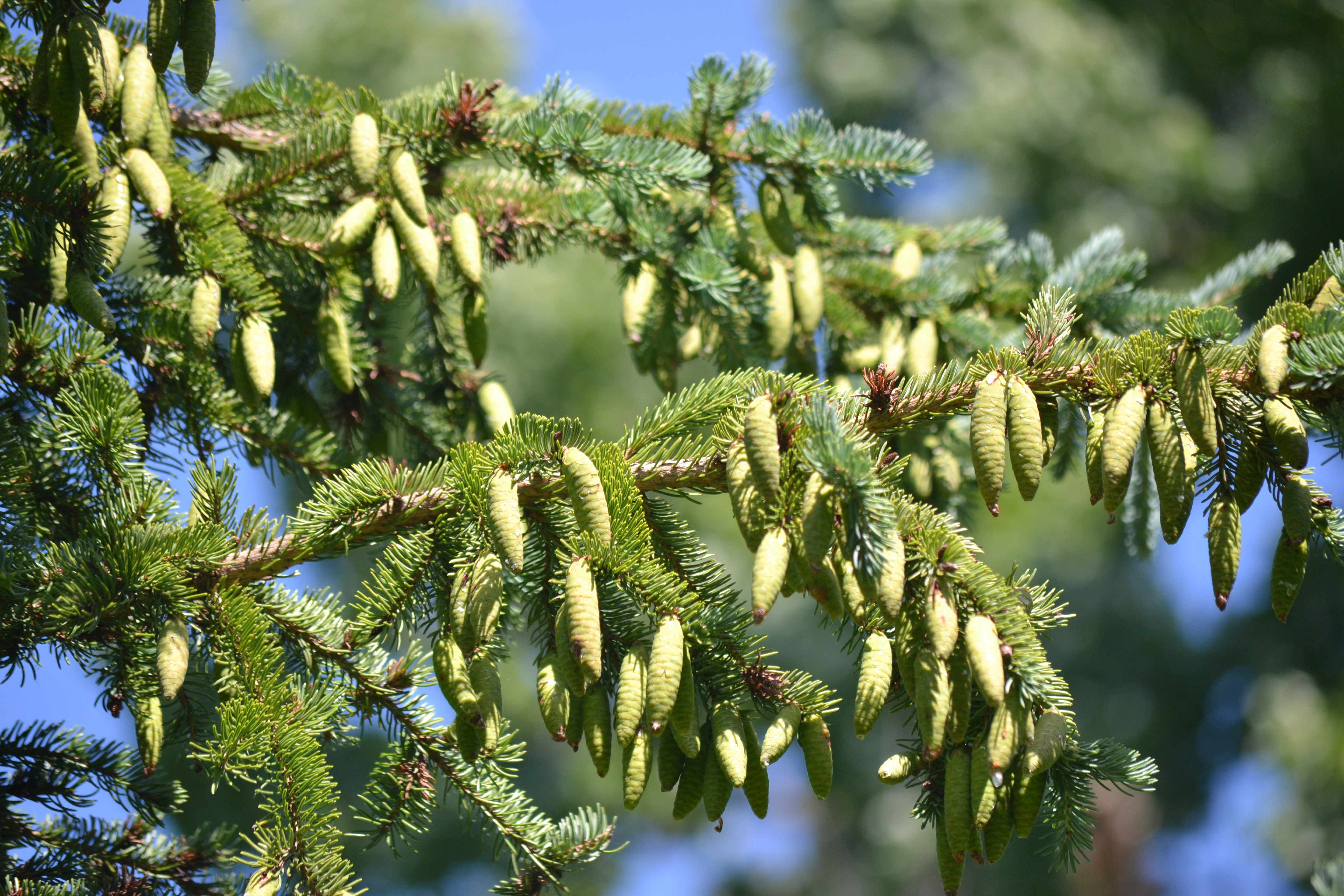 New cones on a white spruce tree branch during a large mast-seeding event (Photo: LaMontagne).