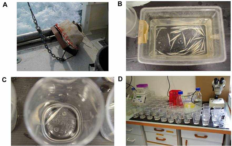 Amphioxus collection and controlled spawning in the laboratory