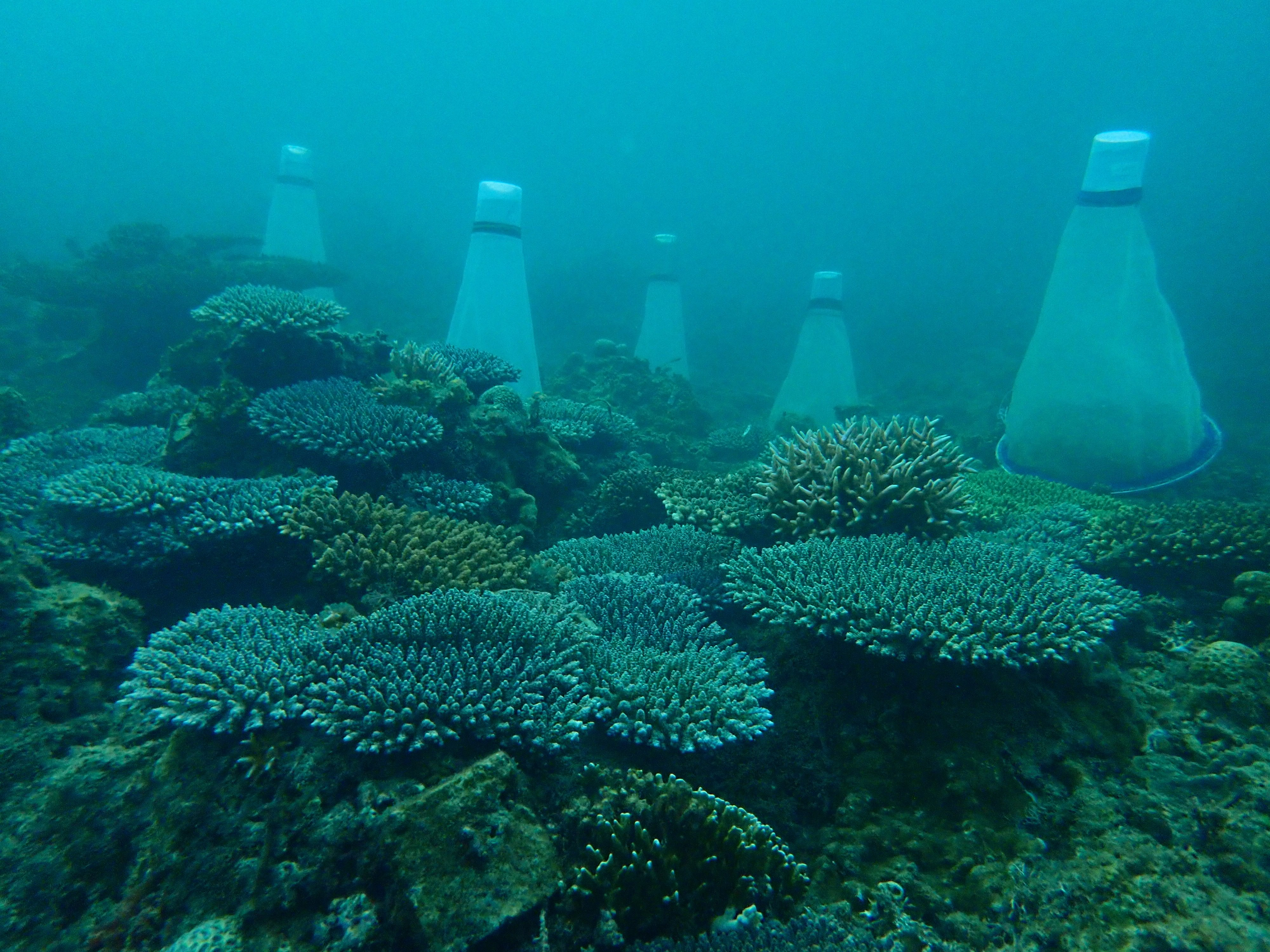 Three year old corals and spawning cones