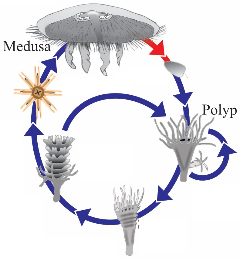 The moon jellyfish life cycle