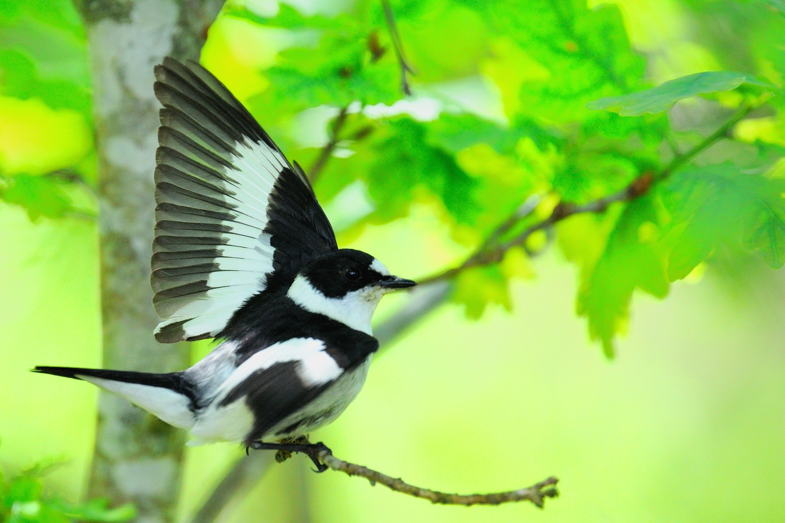 A male collared flycatcher displays its white plumage patches to its mate