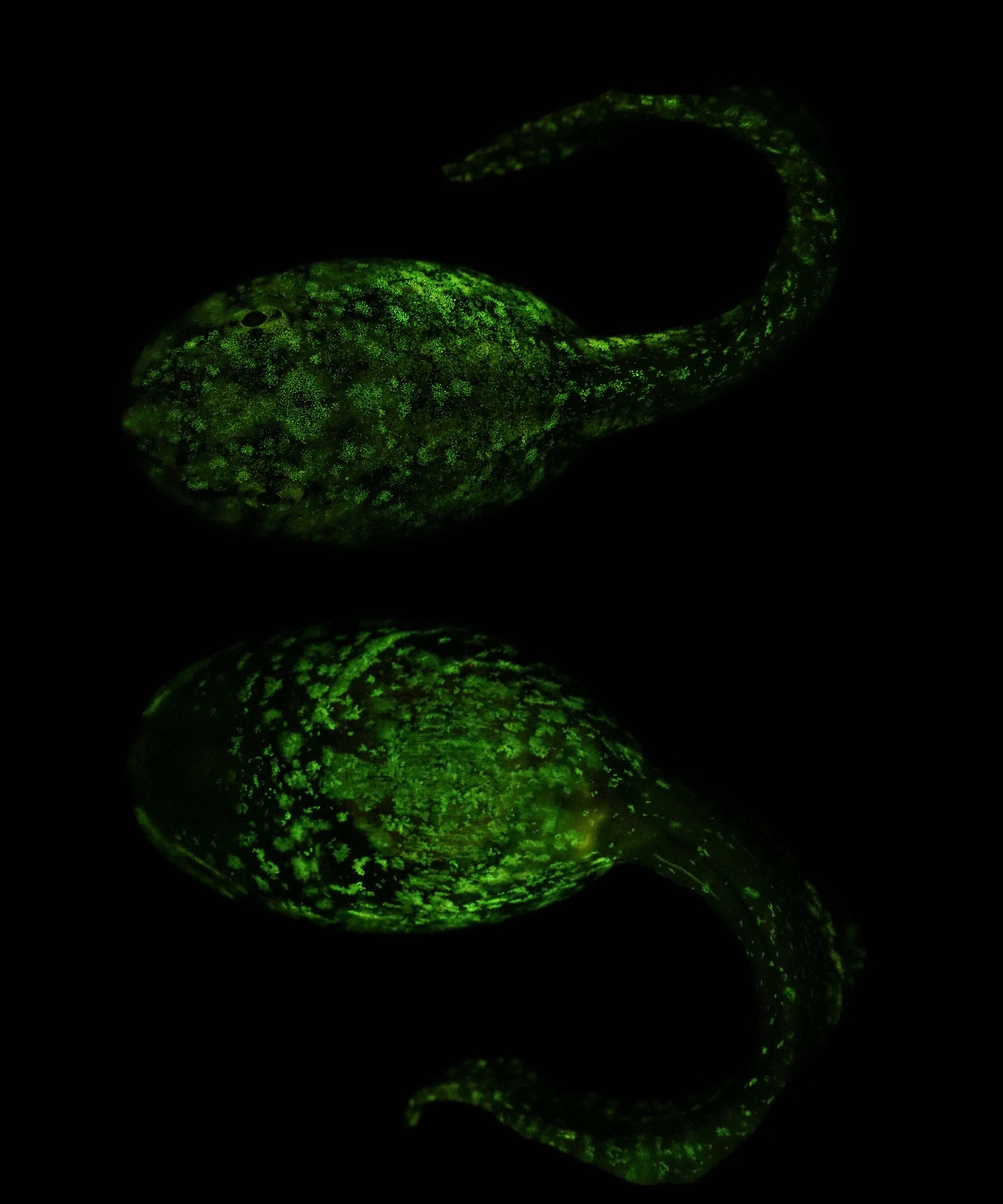 Some amphibians biofluoresce across their life history.