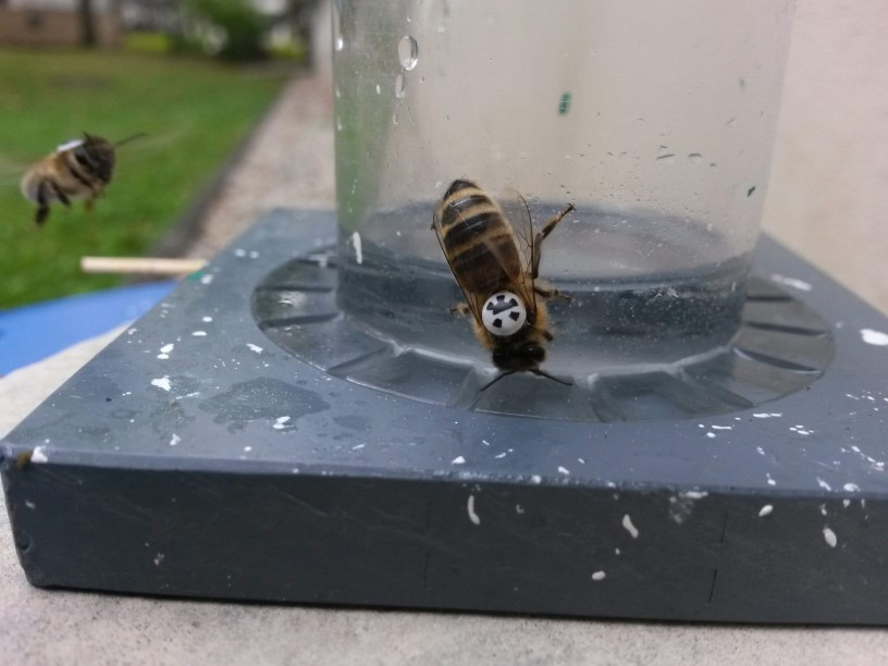 A honey bee equipped with a marker is visiting an artificial feeder.