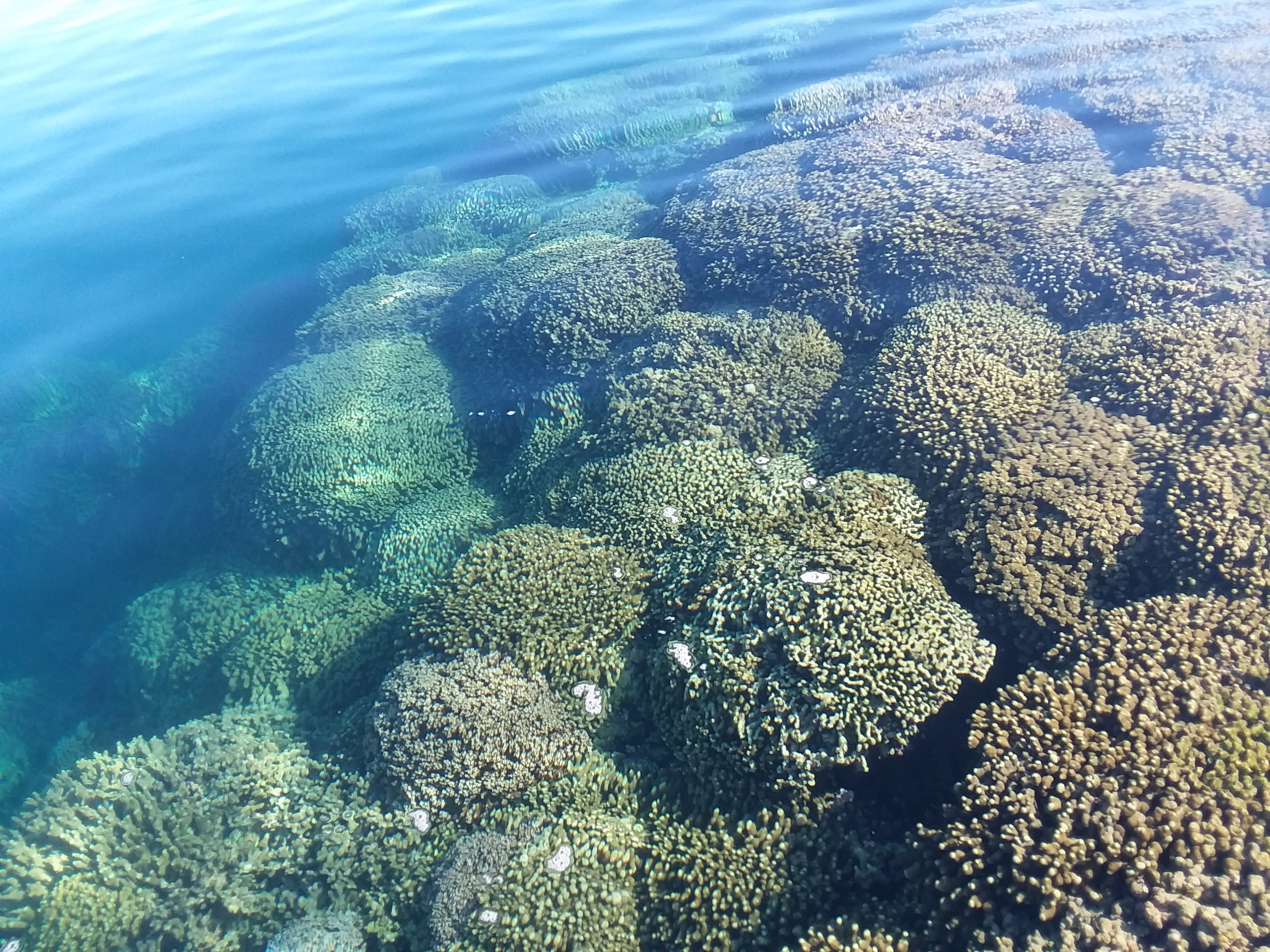 K-bay corals. Photo by Dr. Ty Roach, Hawaii Institute of Marine Biology.