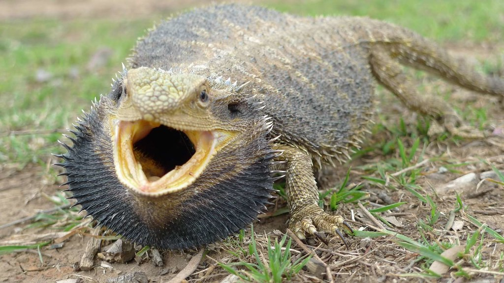 An angry bearded dragon