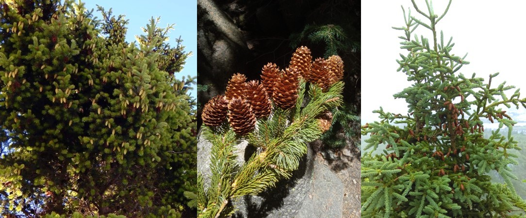 Cones on conifer trees that I've photographed in a few places in the world: Punta Arenas, Chile (left); Flagstaff, Arizona, USA (middle); St. John's, Newfoundland, Canada (right).