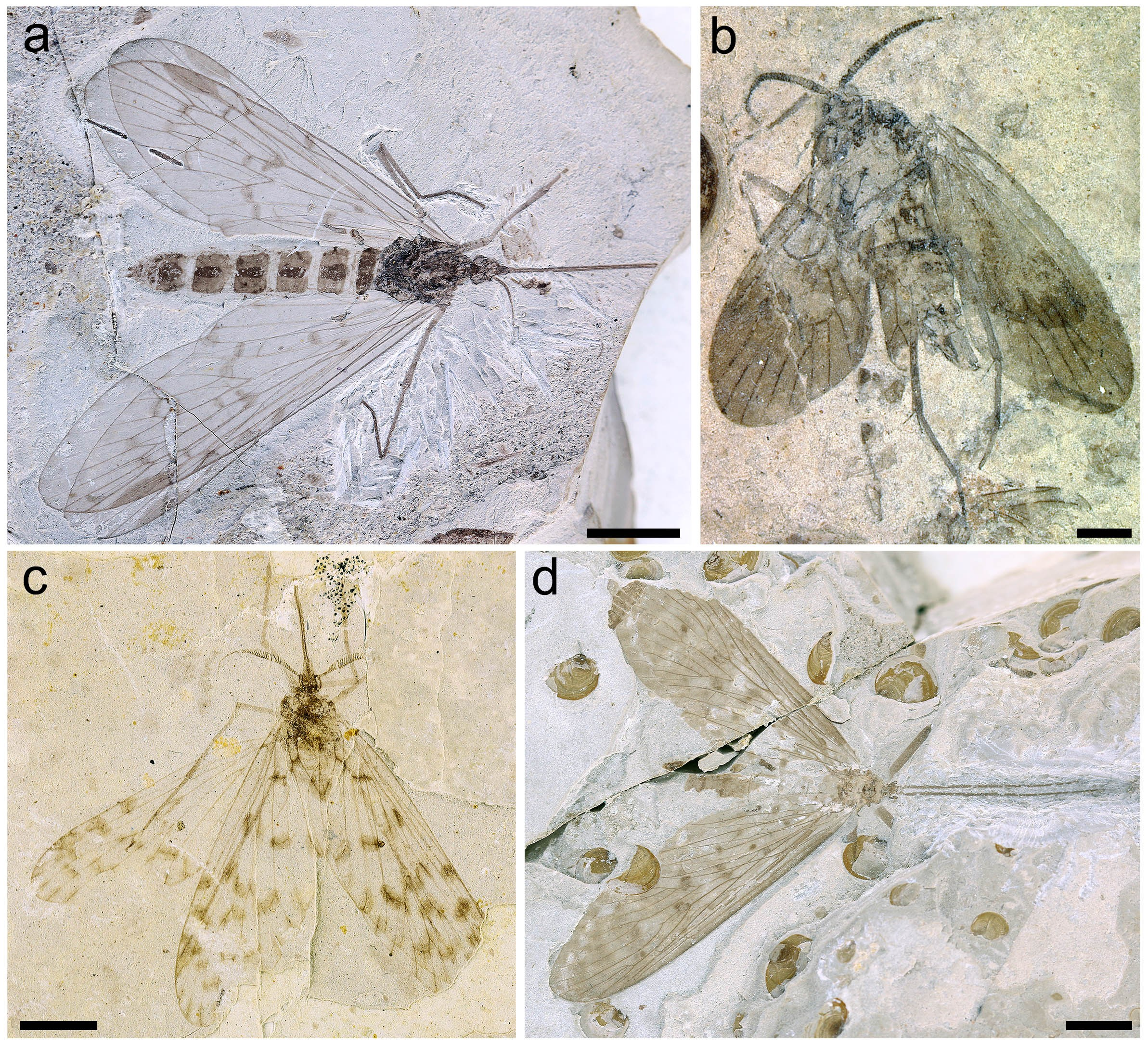 Fig. 1 New photos of Mesopsychidae and Pseudopolycentropodidae holotypes from Northeastern China.